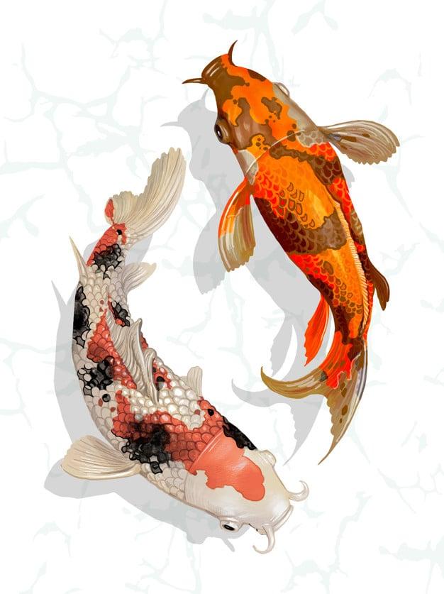two japanese koi fish swimming 53876 16876 - เลือกซองอั่งเปาอย่างไรให้เหมาะสมกับผู้รับ